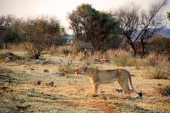 Löwin auf Safari in Südafrika Stockfotografie