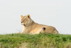 Löwin-Aufpassen Stockbilder