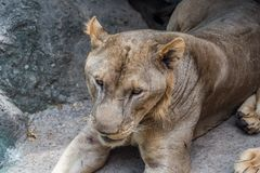 Löwin bei der Bali-Safari u. Marine Park stockfotografie