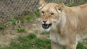 Löwin - bereiten Sie vor, um zu brüllen Stockfoto