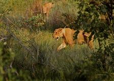 Löwin in Bewegung Stockfoto