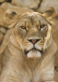 Löwin-Blick Stockbild