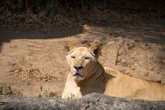 Löwin in Chiang Mai Zoo, Thailand lizenzfreie stockfotografie