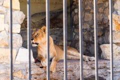 Löwin in der Gefangenschaft in einem Zoo hinter Gittern Energie und Angriff im Käfig Stockfotos