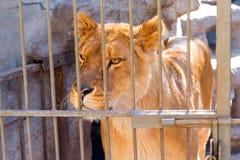 Löwin in der Gefangenschaft in einem Zoo hinter Gittern Energie und Angriff im Käfig Lizenzfreie Stockfotos
