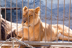 Löwin in der Gefangenschaft in einem Zoo hinter Gittern Energie und Angriff im Käfig Stockfoto