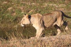 Löwin in der Landschaft Stockfotografie