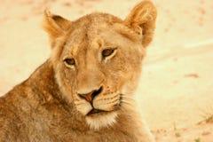 Löwin in der Straße Stockbild