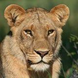Löwin des Okavango Stockbilder