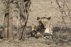 Löwin, die achtern im Schatten der Bäume in der Buschsavanne liegt Lizenzfreies Stockfoto