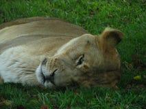 Löwin, die auf dem Gras, friedlich während der Safarireise schläft Lizenzfreie Stockfotografie