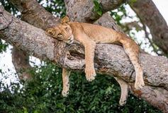 Löwin, die auf einem großen Baum liegt Nahaufnahme uganda März 2009 Lizenzfreie Stockfotografie
