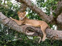 Löwin, die auf einem großen Baum liegt Nahaufnahme uganda März 2009 Lizenzfreie Stockbilder