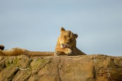 Löwin, die auf Felsen legt lizenzfreies stockbild