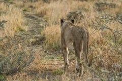 Löwin, die auf Savannenansicht von hinten geht naphtha afrika stockfotografie