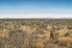 Löwin, die auf Savannenansicht von hinten geht naphtha afrika lizenzfreies stockfoto