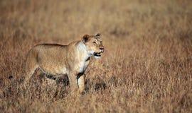 Löwin, die das Mara überblickt Stockbilder