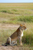 Löwin, die in der geöffneten Wiese sitzt Stockfotografie
