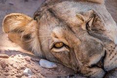 Löwin, die an der Kamera blinzelt Lizenzfreies Stockfoto