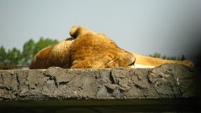 Löwin, die in der Sonne schläft Lizenzfreies Stockfoto