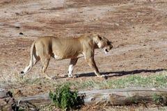 Löwin, die durch trockenen Fluss geht Stockbild