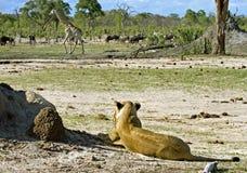 Löwin, die eine Giraffe aufpasst, mit einer Herde des Gnus im Hintergrund vorüber zu gehen Lizenzfreies Stockbild