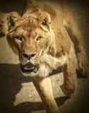 Löwin, die an einem Zuschauer läuft Lizenzfreies Stockfoto