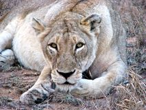 Löwin, die entlang der Kamera anstarrt Stockfoto