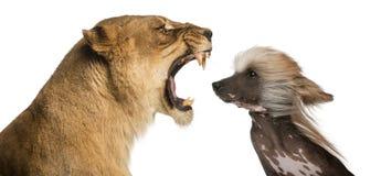 Löwin, die am Gesicht eines Chinese Crested-Hundes brüllt Stockfoto