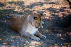 Löwin, die Hintergrund schaut Stockbilder