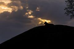 Löwin, die ihr Gebiet übersieht lizenzfreies stockfoto