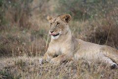 Löwin, die ihre Lippen leckt Lizenzfreie Stockbilder