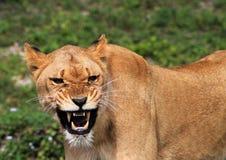 Löwin, die ihre Zähne zeigt Lizenzfreie Stockfotografie