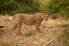 Löwin, die im Gras steht Stockfotos
