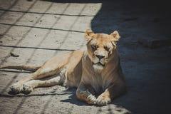Löwin, die im Schatten liegt Lizenzfreie Stockbilder
