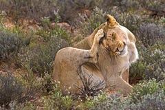 Löwin, die Kopf verkratzt Lizenzfreie Stockfotografie