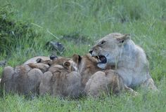 Löwin, die mit 3 Jungen einziehen von ihr ärgerlich wird, stockfoto