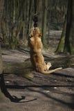 Löwin, die mit Seil spielt Stockbild