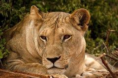 Löwin, die nach links schaut Lizenzfreie Stockfotografie