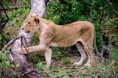 Löwin, die nah sein mögliches Opfer aufpasst Lizenzfreie Stockfotografie