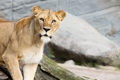 Löwin, die neugierig schaut Grauer Steinhintergrund Lizenzfreie Stockbilder