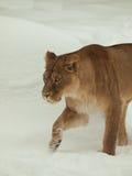 Löwin, die in Schnee geht Lizenzfreie Stockfotografie