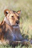 Löwin, die sich hinlegt Lizenzfreie Stockfotografie
