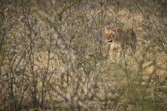 Löwin, die unter Büschen der afrikanischen Savanne geht naphtha stockfotografie