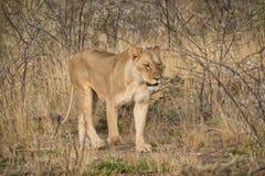 Löwin, die unter Büschen der afrikanischen Savanne geht naphtha lizenzfreies stockfoto