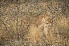 Löwin, die unter Büschen der afrikanischen Savanne geht naphtha lizenzfreie stockfotos