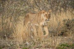 Löwin, die unter Büschen der afrikanischen Savanne geht naphtha lizenzfreie stockbilder
