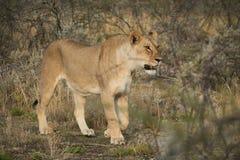 Löwin, die unter Büschen der afrikanischen Savanne geht naphtha stockfoto