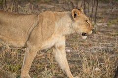 Löwin, die unter Büschen der afrikanischen Savanne geht naphtha stockbild