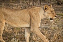 Löwin, die unter Büschen der afrikanischen Savanne geht naphtha stockfotos